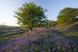 Common Bluebells