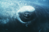 Southern Right Whale's Eye