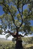 Cork Oak (Quercus Suber) Trees
