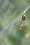 Orb Web Spider on Its Web