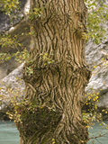 Black Poplar Trunk