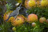 Cape Sugarbird on a Flower