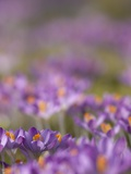 Drifts of Crocuses Naturalised In Grass