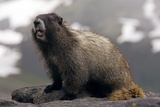Hoary Marmot on a Rock