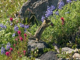 Golden-mantled Ground Squirrel Feeding