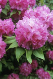 Rhododendron Flowers (Rhododendron Sp)