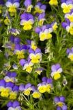 Pansy Flowers (Viola X Wittrockiana)