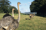 Farmed Ostriches