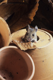 Woodmouse Peeering Out of a Flowerpot