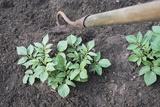Earthing-up Organic Potatoes