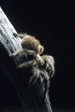Bird-eating Spider
