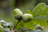 English Oak Acorns (Quercus Robur)