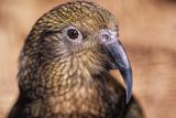 Mountain Parrot