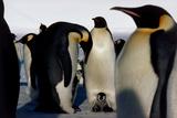 Emperor Penguins Sheltering Chicks