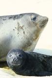 Southern Elephant Seals