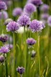 Chives  In Flower (Allium Schoenoprasum)