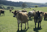 Jersey Cows