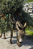 Donkey Carrying Olive Branches