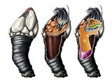 Goose Barnacle Anatomy  Artwork