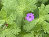 Hedgerow Geranium (Geranium Pyrenaicum)