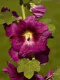 Wild Hollyhock (Alcea Rosa)