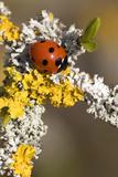Seven-spot Ladybird on Lichen