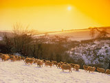 Sunset Over a Snow-covered Field with Sheep In It