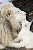 Male White Lion And Cub