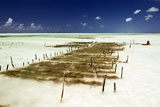 Kelp Farming  Zanzibar