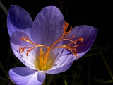 Autumn Crocus (Crocus Speciosus) Flower