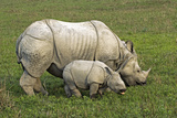 Indian Rhinoceroses