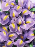 Iris Flowers (Iris Sp)