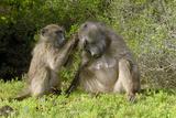 Chacma Baboons Grooming