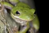 American Green Treefrog