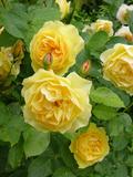 Roses (Rosa Sp)