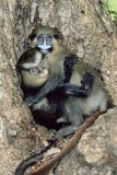 Orphaned Guenons