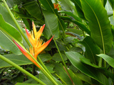 False Bird-of-paradise (Heliconia Sp)