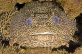 Leopard Toadfish