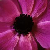 Anemone Flower (Anemone Sp)