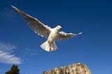 Black Billed Gull In Flight