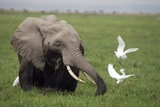 African Elephant And Cattle Egrets