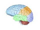 Human Brain Anatomy  Artwork