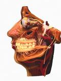 Cutaway Model of Face