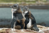 African Penguin Chicks Moulting
