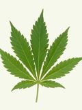 Leaf of Marijuana Plant  Cannabis Sativa