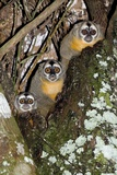 Three-striped Owl Monkeys