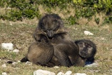 Chacma Baboon Grooming Pair