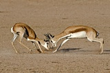 Springboks Fighting