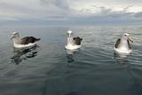 Salvin's Albatrosses