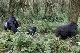 Mountain Gorilla Family Group